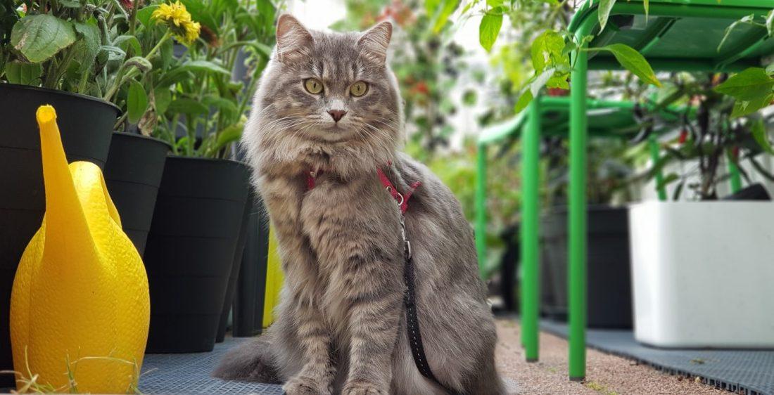 Purnukka Siperiankissa rotukissa siberian cat